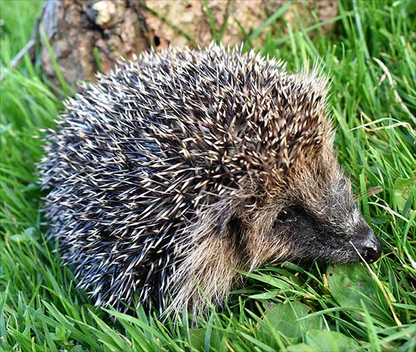 Hetty The Hedgehog