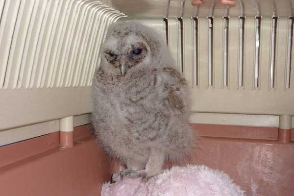 Grounded Tawny Owl Chick