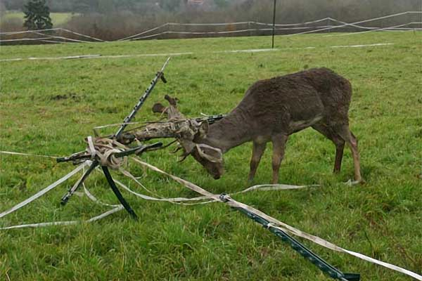 Fallow Buck In Electric Fencing